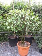 Photinia Red Robin meerstam h:120