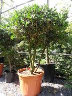 Osmanthus heterophyllus meerstam h:100