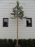 Prunus Lusitanica Angustifolia leiboom 10-12