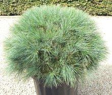 Pinus Wallichiana bol dia 50