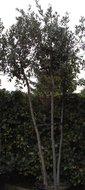 quercus ilex  3-stam  h:250-300