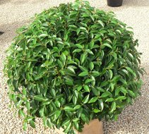 Prunus Lusitanica Angustifolia bol dia 35