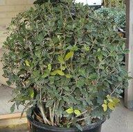 Quercus Ilex bol dia 60