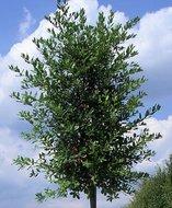 quercus ilex  hoogstam 14-16