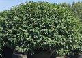 Prunus-Lusitanica-Angustifolia-bol-dia-100